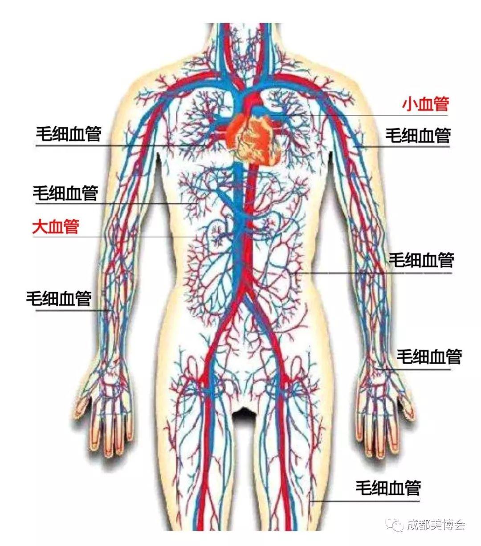 人体血分布�_毒素长期瘀在人体血液中,带来种种疾病,导致衰老.